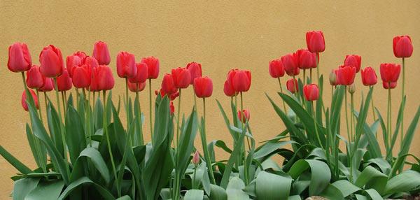 Un año más, los tulipanes.