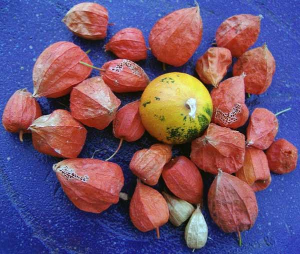 Mi cosecha de calabazas y demás frutos.